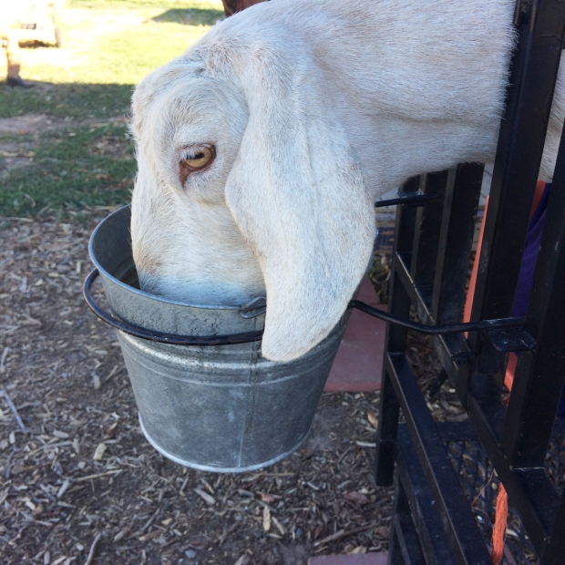 belle-the-goat-eating-the-goat-cheese-lady-farm