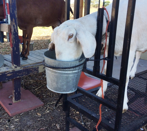 belle-the-goat-the-goat-cheese-lady-farm