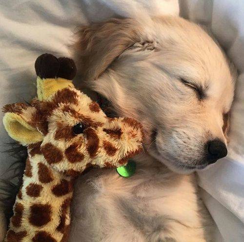 baby golden with a stuffed giraffe