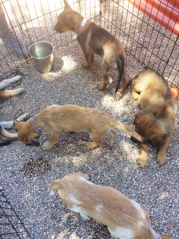 Harper and her litter mates, Lifeline Puppy Rescue in Brighton Colorado, Harper the german shepherd pup